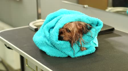 kartáč na vlasy : Close-up of a wet Yorkshire terrier wrapped in a blue towel on a table at a veterinary clinic. Care and care of dogs. A small dog was washed before shearing, shes cold and shivering. Slow motion.