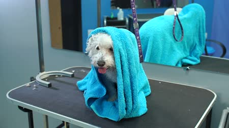 hound : Close-up of a wet a dog Bichon Frise wrapped in a blue towel on a table at a veterinary clinic. Care and care of dogs. A small dog was washed before shearing, shes cold and shivering. Slow motion.
