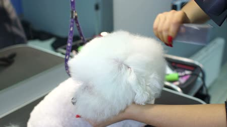 kartáč na vlasy : A female groomer cuts a dog Bichon Frise and dries her hair with a hair dryer on a grooming table in a beauty salon for dogs. Slow motion. Hairdresser for animals.