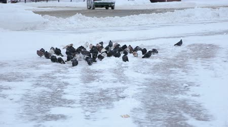 colombe : A flock of pigeons in the winter city snow-covered Park, they sit on the ground next to the road and passing cars. Pigeons in the snow eat crumbs in the winter park.