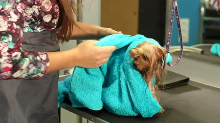 breed : Close-up of a female veterinarian wiping a wet Yorkshire Terrier with a towel in a veterinary clinic. Preparing for a dog haircut. Stock Footage
