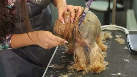plucks : A professional groomer plucks hair from the ears of a small Yorkshire terrier at a veterinary clinic. Close-up girl vet cleans the dogs ear with cotton swab. Veterinarian cleans ears dog. Stock Footage