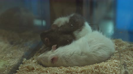высокое разрешение : Close-up of white and gray rats sleeping in a cage, high resolution. Domestic rats. Стоковые видеозаписи