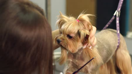 barber hair cut : Close-up doctor veterinary clinic cuts scissors Yorkshire Terrier. A professional veterinarian cuts a dog in the clinic, the doctor makes a Yorkshire Terrier a fashionable haircut. Slow motion. Stock Footage