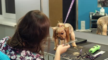 терьер : Close-up of professional groomer combing little Yorkshire terrier. Close-up of a veterinarian combing hair on the face of a Yorkshire terrier. Hairdresser for animals.