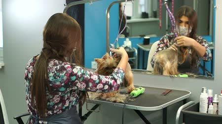 терьер : Veterinarian trimming a yorkshire terrier with a hair clipper in a veterinary clinic. Female groomer haircut Yorkshire Terrier on the table for grooming in the beauty salon for dogs. Slow motion. Стоковые видеозаписи