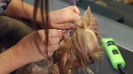 plucks : Veterinarian cleans ears dog. Veterinarian plucks hairs from the ear of a small dog in a veterinary clinic. A woman vet cleans the ears with a cotton swab in a Yorkshire terrier at a veterinary clinic Stock Footage