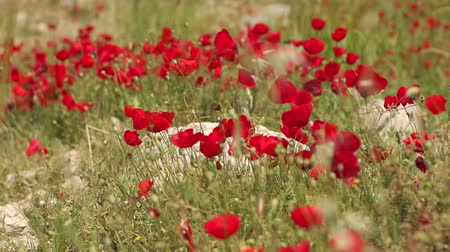 Флорес : Close-up wind blows red poppies on a field in summer in sunlight. Slow motion. Poppies Flower. Field with green grass and red poppies.