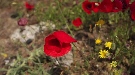 Флорес : Close-up wind blows red poppies on a field in summer in sunlight. Slow motion. Poppies Flower. Field with green grass and red poppies. Turkey. Pamukkale.