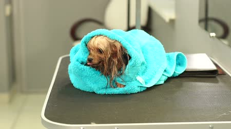 hound : Close-up of a wet Yorkshire terrier wrapped in a blue towel on a table at a veterinary clinic. Care and care of dogs. A small dog was washed before shearing, shes cold and shivering. Slow motion.