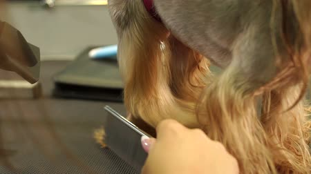 салоны красоты : The vet dries the dogs hair with a hair dryer and combs the Yorkshire Terrier in the veterinary clinic. Slow motion. Female groomer haircut Yorkshire Terrier on the table in the salon for dogs. Стоковые видеозаписи