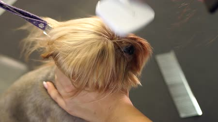 mimos : The vet dries the dogs hair with a hair dryer and combs the Yorkshire Terrier in the veterinary clinic. Slow motion. Female groomer haircut Yorkshire Terrier on the table in the salon for dogs. Stock Footage