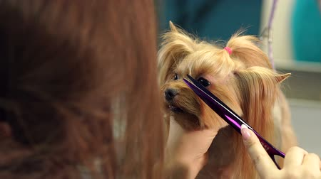 мини : Yorkshire Terrier sitting on the table in vet clinic. Close-up doctor veterinary clinic cuts scissors Yorkshire Terrier. Veterinarian. Groomer. Hairdresser for animals.