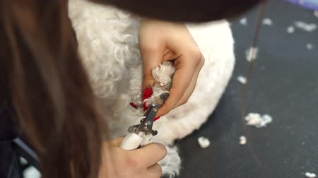 kırpma : Woman veterinarian trim the claws of a dog Bichon Frise in a veterinary clinic, close-up. Clipping a dogs claws close-up view. Close-up of a vet cutting dogs toenail with nail clipper. Vet concept. Stok Video
