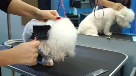 secadora de cabello : The vet dries the dogs hair with a hair dryer and combs a dog Bichon Frise in the veterinary clinic. Slow motion. Female groomer haircut Bichon Frise on the table in the salon for dogs.