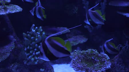 brilhantemente : Beautiful colorful fish swim in the aquarium among corals, underwater marine world. Slow motion. Vídeos