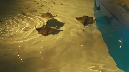 observatory : Stingrays swim in the pool or aquarium. Contact Zoo. Slow motion. Stingrays swimming in a pool.