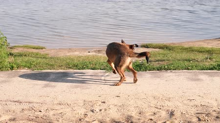 pulgas : A stray dog on the riverbank, slow motion. A stray dog itches from fleas on the shore of a lake.