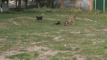 nevetséges : A pack of stray dogs running on the grass in the Park among the trees, one dog chews bone. Slow motion. Stock mozgókép