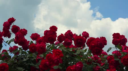 rosa : Bush of red roses