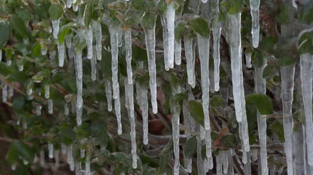 Icicles hanging on the bush.