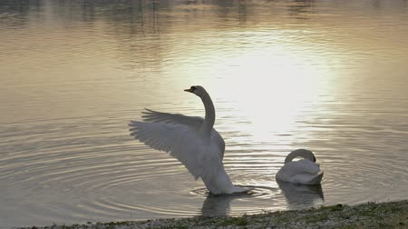 Swans on the lake shore