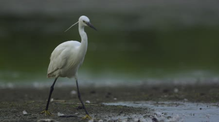 little egret : Little Egret is walking out of the lake to another water to catch fish