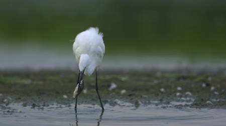 little egret : Little Egret is walking with a fish in bill and trying to eat it.