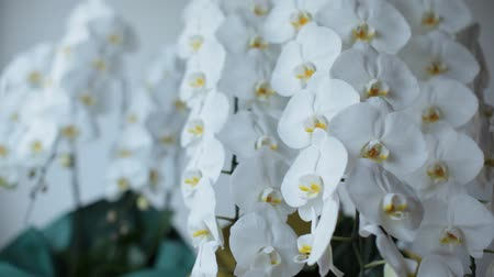 orkide : Phalaenopsis Orchid Stok Video
