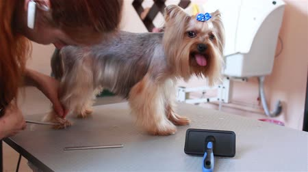 yorkie : groomer Yorkshire Terrier combing hair and wears a blue bow