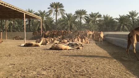 emirados : A herd of camels on the farm.