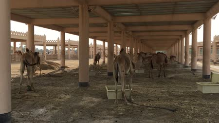 ungulado : A herd of camels on the farm.