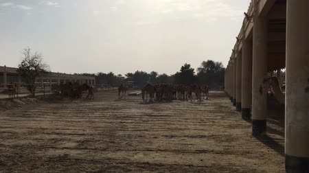копытный : A herd of camels on the farm.