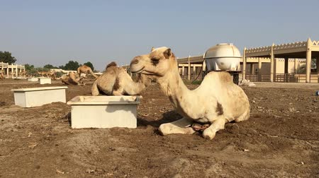ungulado : the camel on the farm eats hay Vídeos