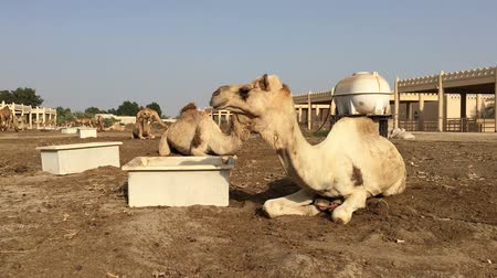 копытный : the camel on the farm eats hay Стоковые видеозаписи