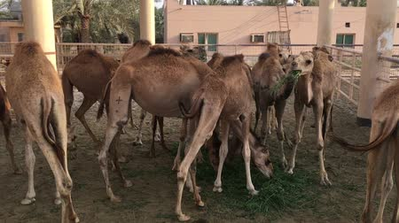 копытный : A herd of camels on the farm. Feeding.