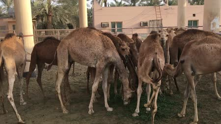 ungulado : A herd of camels on the farm. Feeding.