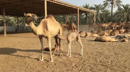копытный : A small camel drinks mothers milk. Camel farm in Bahrain.