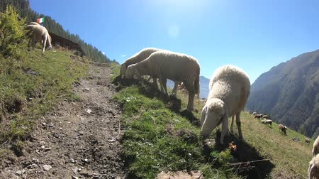 koyun : Sheep on the mountains. Italian Alps. Gran Paradiso National Park Stok Video