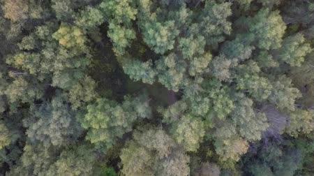 drone : aerial autumn forest by drone