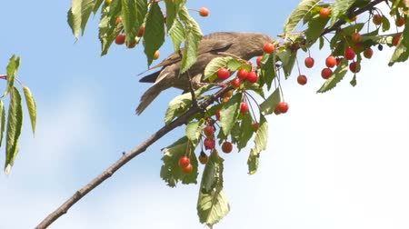 turdus merula : Common Blackbird On The Cherries