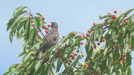 turdus merula : Common Blackbird Eating Cherries
