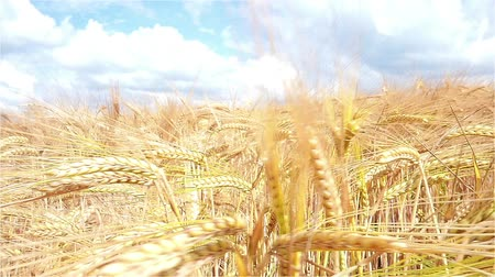 terep : Wheat Field