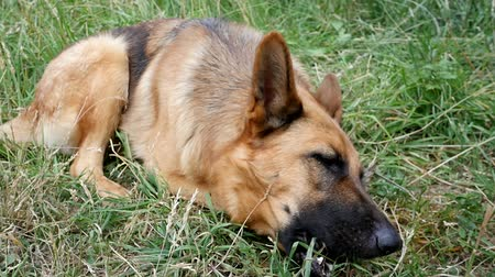 çoban : Close up of German shepherd dog chewing on a bone in garden slow motion Stok Video