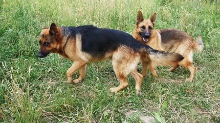 almanca : Two German Shepherds playing on the green grass slow motion Stok Video