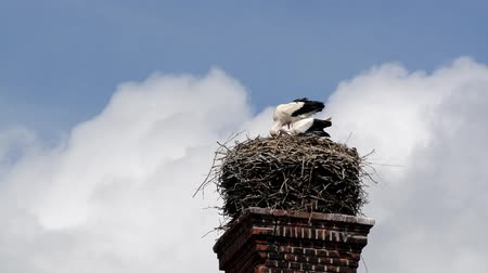 ciconiidae : Stork nest with young birds on a sunny day in July in Germany.