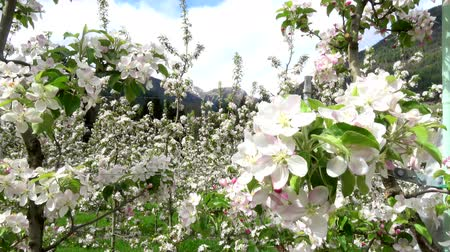 south tyrol : Video of apple blossoms in April in Trentino, Italy Stock Footage