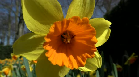 significado : Narcissus pseudonarcissus, meaning wild daffodil or lent lily, is a perennial flowering plant. Stock Footage