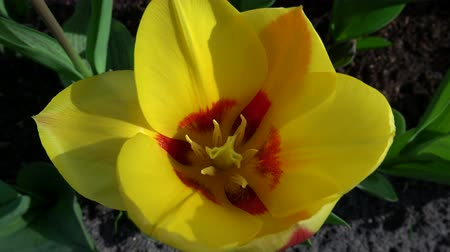tulipany : Tulips form a genus of spring-blooming perennial herbaceous bulbiferous geophytes. Wideo