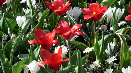 germany : Tulips form a genus of spring-blooming perennial herbaceous bulbiferous geophytes. Stock Footage